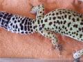 Awww Gecko Butt