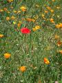 Poppies Golden Poppies